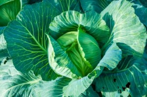 An image of cabbage ready to harvest